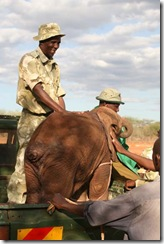 The calf was transported in the back of the KWS vehicle