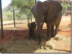 mulika & her baby in stockade (7)
