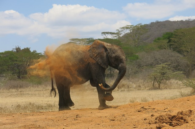 Limalima blowing dust on her back