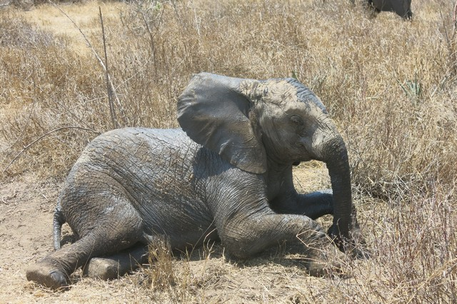 Limalima taking arest after mudwallowing (2)