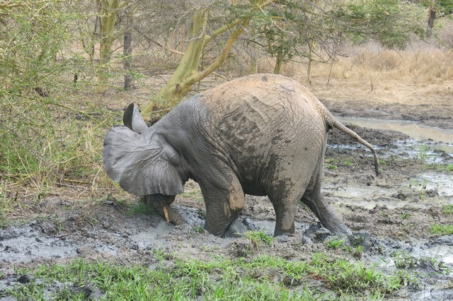 Murera digging mud with her tusks