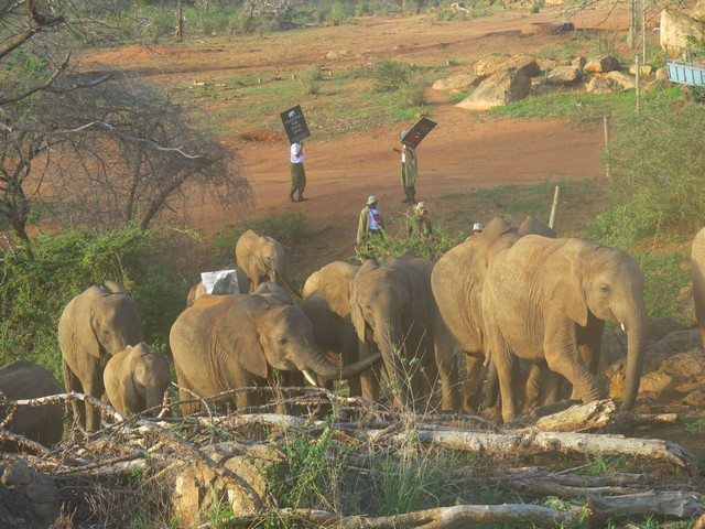 keepers taking elephants to the bush (8)