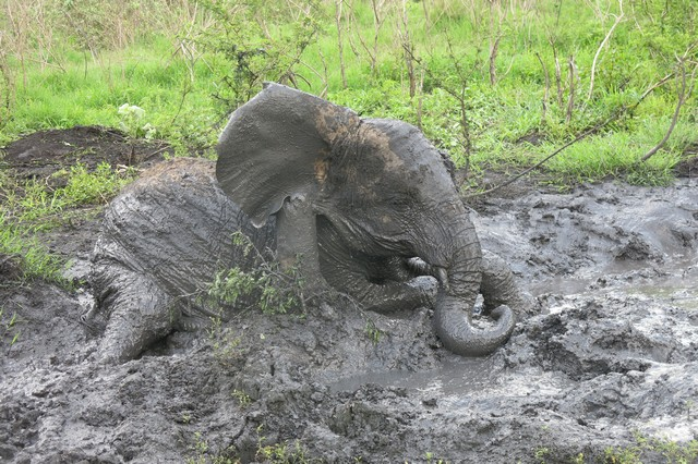 Playfull Sonje rolling on mud (3)