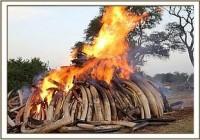 Mit einem weiteren historischen Ereignis sendete Seine Exzellenz, Präsident Uhuru Kenyatta, eine deutliche Botschaft an die gesamt Welt, als er 15 Tonnen beschlagnahmtes Elfenbein anzündete