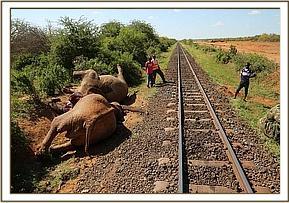 Die vom Zug getöteten Elefantenbullen