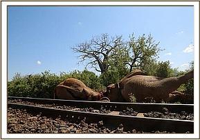 Die toten Elefantenbullen