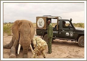 Der Elefantenbulle wird für die Behandlung betäubt