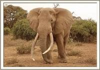 Die Behandlung eines verletzten Amboseli Elefantenbullen