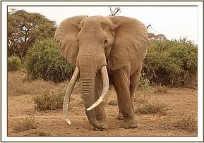 Der verletzte Elefantenbulle