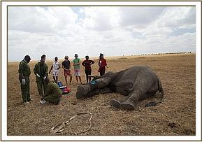 Der Tierarzt bereitet das Aufwecken  des Elefanten vor