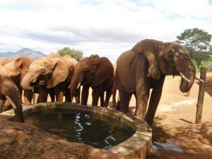 Lesanju rgt, drinking water with Kenia herd (3) U