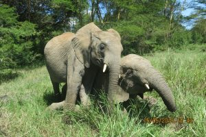 Limalima down  and Quanza trying to mount on her back (2) U
