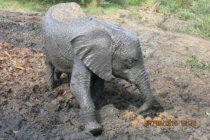 Ngasha rolling on the muddy waterhole