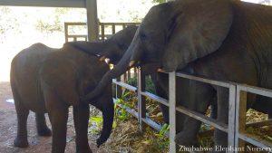 Annabelle wird von den anderen Elefanten getröstet.