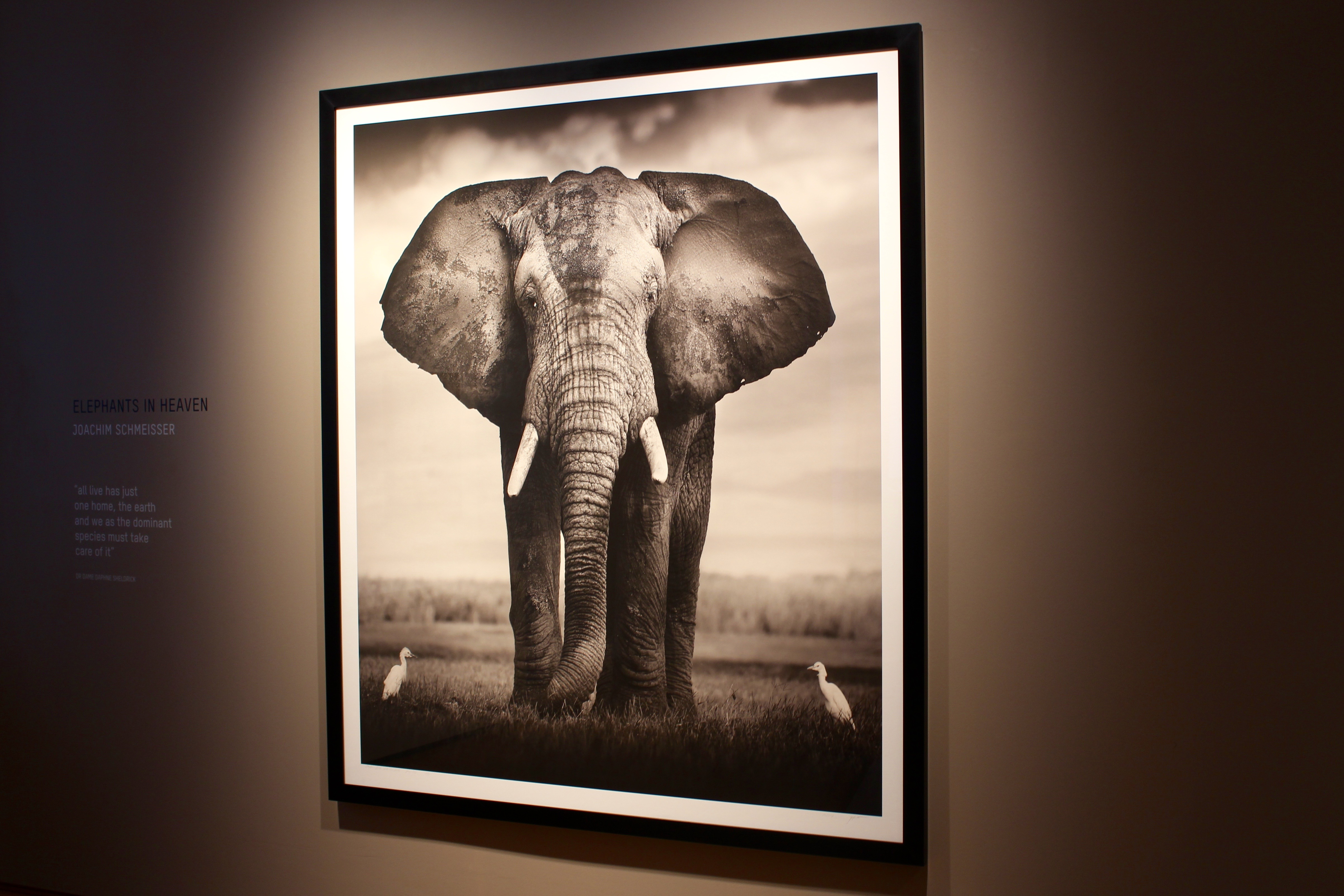 "Joachim Schmeisser ""Elephant Bull with two birds"" Kenya, 2017"
