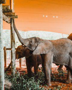 Die Elefanten erkunden ihre neue Boma