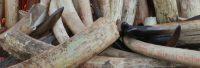 Eine folgenschwere Entscheidung über Elefantenelfenbein fällt an Europa