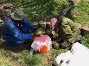 Aus den Kokosnüssen - die aus Mosambik importiert wurden - wird Kokoswasser gewonnen, um es der Milch von Limpopo beizumengen.