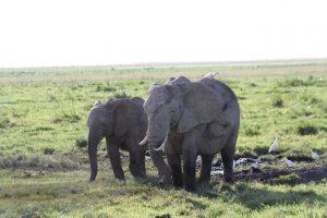 Elefanten und Kuhreiher in Amboseli