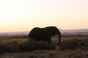 Junger Elefantenbulle in Amboseli