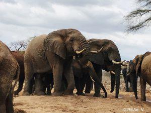 Wilde Bullen am Wasserloch von Ithumba