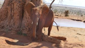 Araba (c) Sheldrick Wildlife Trust