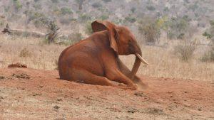 Bada (c) Sheldrick Wildlife Trust