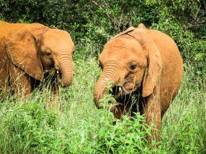 Dololo und Musiara (c) Sheldrick Wildlife Trust