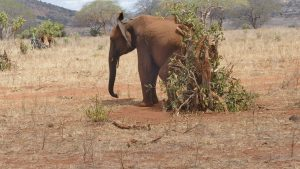 Embu beim Kratzen (c) Sheldrick Wildlife Trust