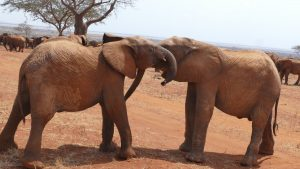 Emoli (links) und Ngilai (c) Sheldrick Wildlife Trust