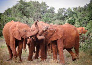 Enkesha, Maishu, Nabulu (c) Sheldrick Wildlife Trust