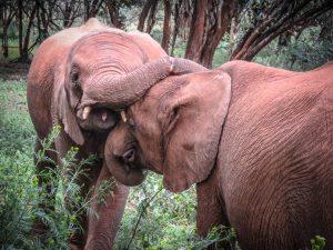 Enkesha und Maktao (c) Sheldrick Wildlife Trust