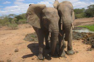 Jasiri und Murera nach der Abkühlung in der Suhle (c) Sheldrick Wildlife Trust