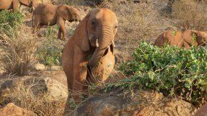 Kenia (vorn) beim Fressen (c) Sheldrick Wildlife Trust