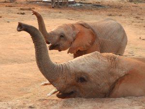 Kuishi und Mapia wittern ihre Freunde (c) Sheldrick Wildlife Trust