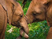 Maktao und Sattao (c) Sheldrick Wildlife Trust