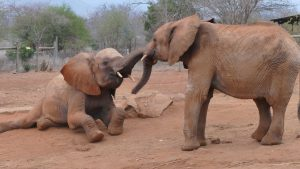 Mbegu (links) mit Ndotto (c) Sheldrick Wildlife Trust