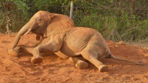 Mudanda (c) Sheldrick Wildlife Trust