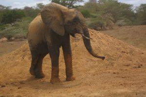 Murera nach dem Suhlen (c) Sheldrick Wildlife Trust