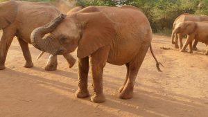 Murit legt seinen Rüssel ab (c) Sheldrick Wildlife Trust