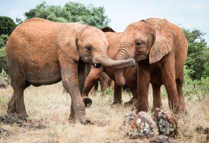 Musiara und Maisha (c) Sheldrick Wildlife Trust
