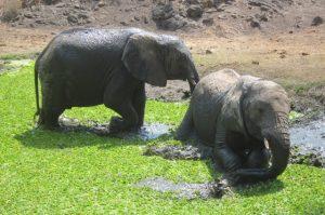Ngasha und Faraja beim Baden (c) Sheldrick Wildlife Trust