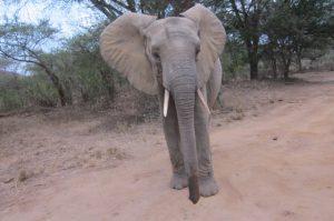 Quanza versucht Zongoloni einzuholen (c) Sheldrick Wildlife Trust