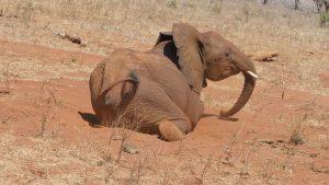 Rorogoi steckt seinen Fuß in ein Erdloch (c) Sheldrick Wildlife Trust