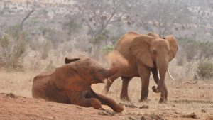 Sagala (links) und eine wilde Elefantenkuh (c) Sheldrick Wildlife Trust