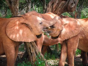 Sattao and Maktao (c) Sheldrick Wildlife Trust