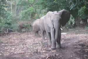 Ziwa führt ihre Freunde in den Busch (c) Sheldrick Wildlife Trust