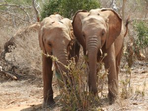 Enkikwe und Malkia (c) Sheldrick Wildlife Trust