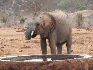 Kauro beim Saufen (c) Sheldrick Wildlife Trust