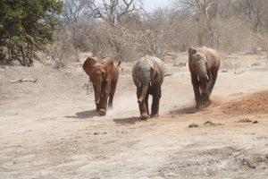 Lemoyian, Garzi und Barsilinga (c) Sheldrick Wildlife Trust
